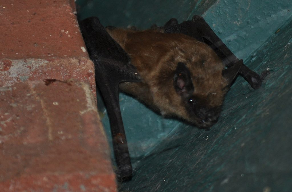 Photo of bat trapped in chimney