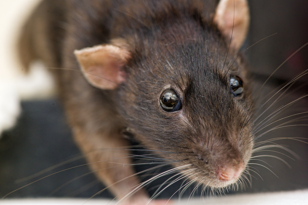 Picture of brown rat