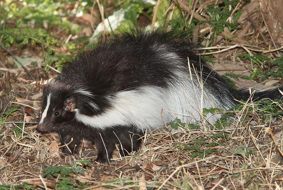 Image of skunk that sprays nasty odors