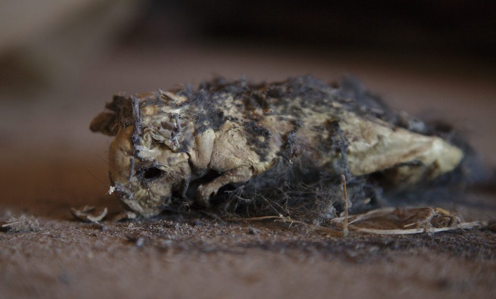 Photo of dead rat decaying in attic
