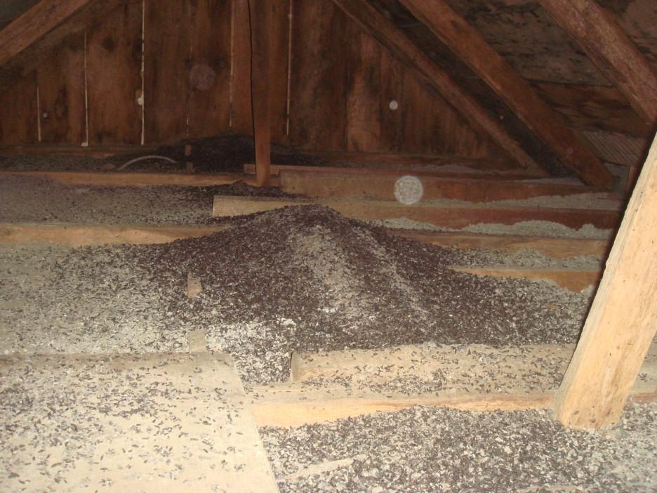 Photo of bat feces attic damage