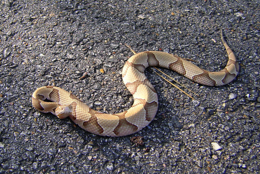 Picture of copperhead snake